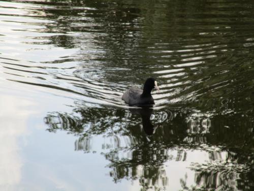 Ducks in Vondelpark