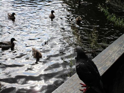 Ducks in Vondelpark